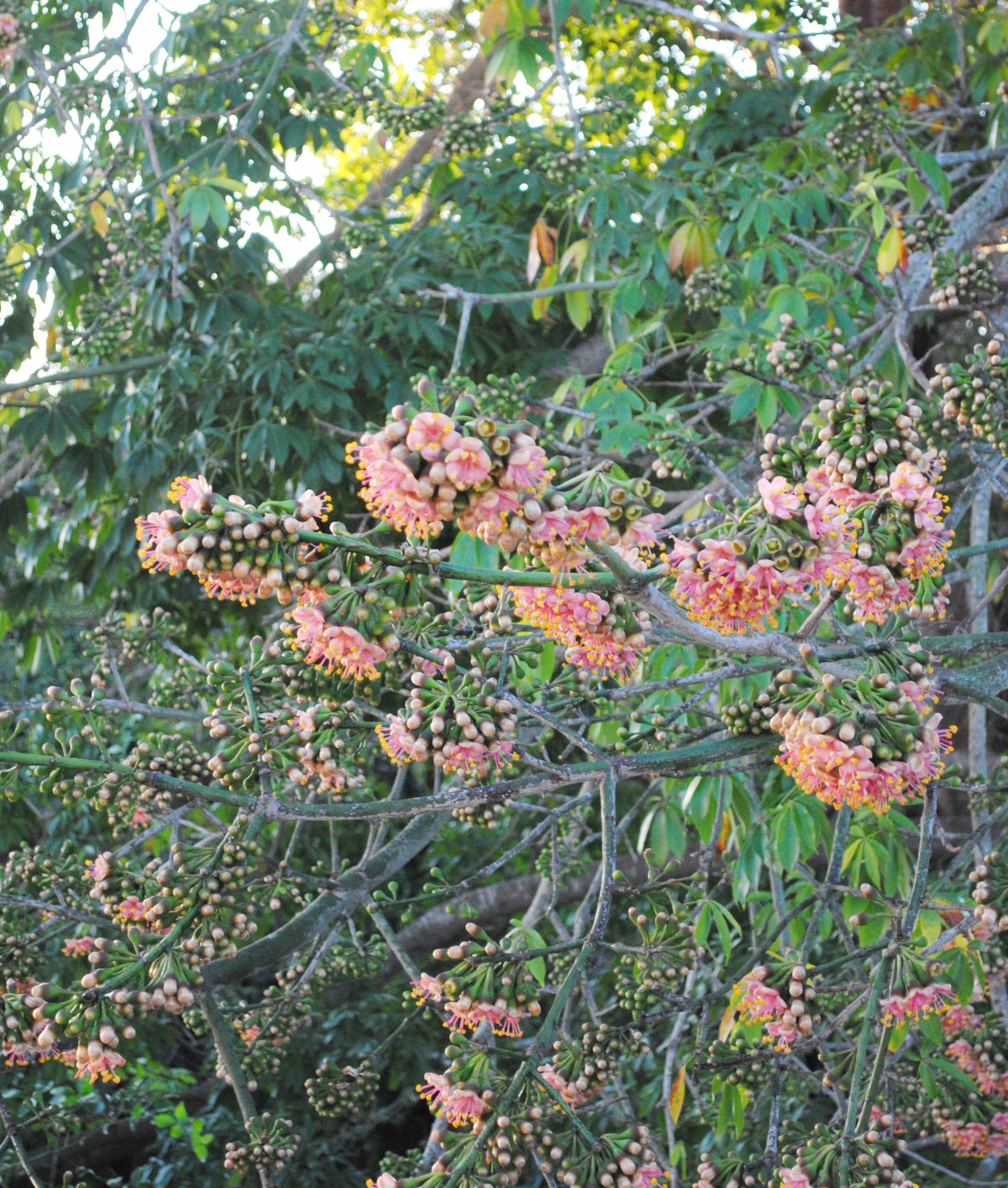 Flora pen nsula de yucat n for Vegetacion ornamental